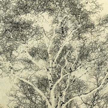 Birch tree in the winter
